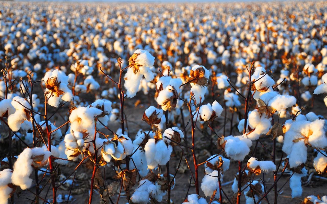 10766-beautiful-cotton-field-hd-wallpapers