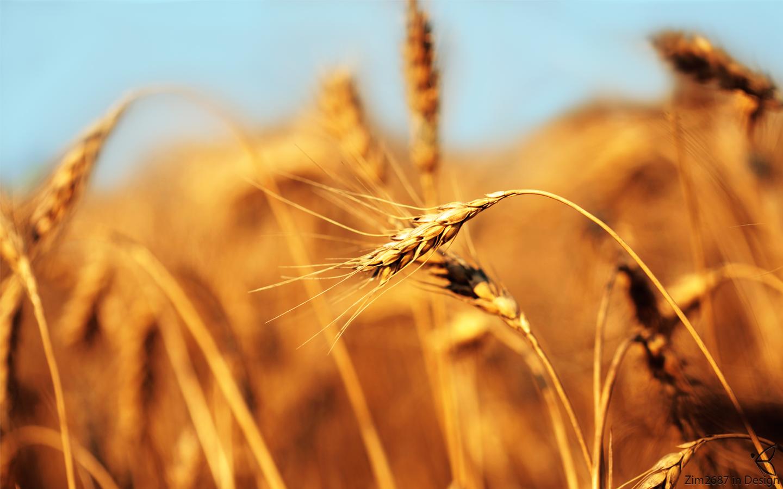 wheat-Wallpaper-HD